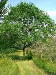 osage orangetree